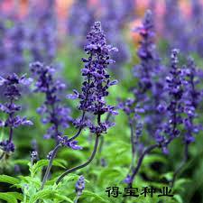 Fragrant Flowers Aliexpress Com Buy Vanilla Fragrant Flowers Edible Sage Terrace