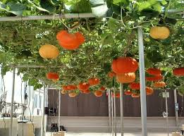 Growing Pumpkins On A Trellis Best 25 Pumpkin Trellis Ideas On Pinterest Pumpkin Growing
