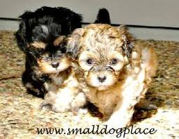pictures of shorkie dogs with long hair shorkie shih tzu yorkie hybrid