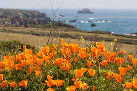 how and where to see california wildflowers in bloom