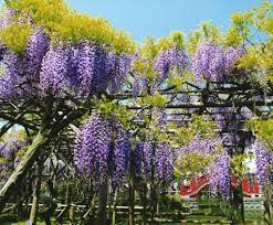 after the sakura relish the wisteria at kameido tenjinja shrine