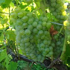 buy blanc du bois grafted grape vines for sale double a vineyards