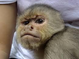 Monkey Meme Generator - grumpy monkey meme generator imgflip