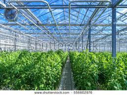 modern green house modern greenhouse tomato plants stock photo 556602976 shutterstock