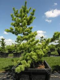 ornamental pines hanselman landscape and gardens