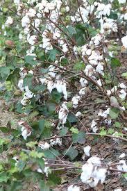 native georgia plants georgia u0027s cotton crop sustained at least 10 percent loss across
