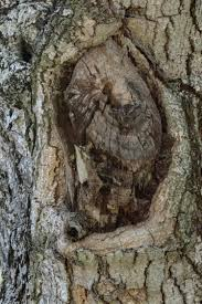 owl pictured perfectly by tree trunk in florida metro