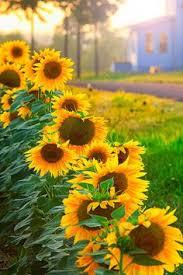 single sun flower wallpapers sunflower in the sky photograph by robert fawcett sunflowers