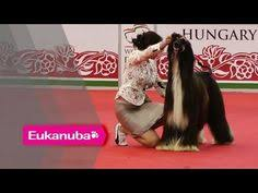 afghan hound dogs 101 dogs 101 afghan hound http dogvideos dogownerguide com dogs