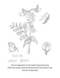 coloring 8 beach pea botanical illustration