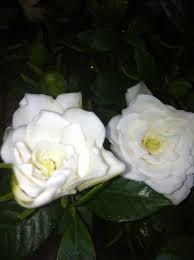 Gardenias by Gardenia The Black Narcissus
