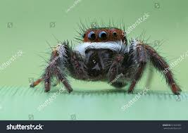 jumping spider stock photo 514523491 shutterstock