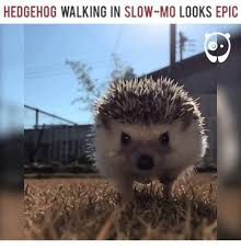 Hedgehog Meme - hedgehog walking in slow mo looks epic meme on me me