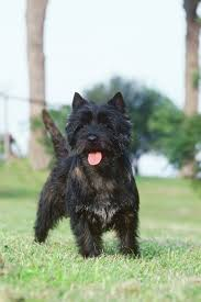 brindle cairn haircut cairn terrier by redsflame own work licensed under cc by sa
