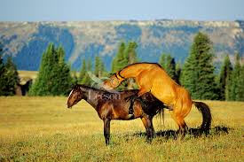 mustangs mating feral horses or mustangs tom pat leeson