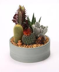 best 25 mini cactus garden ideas on pinterest mini cactus mini
