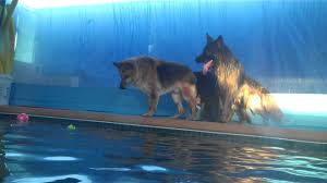belgian sheepdog houston tx warm water dog swimming come swim with your dog at rummy u0027s