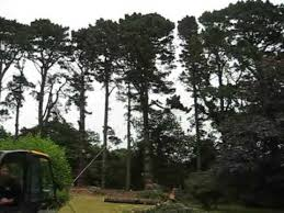 cornish tree surgeons fell 100ft tree with help from tractor