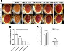 modification of the drosophila model of in vivo tau toxicity