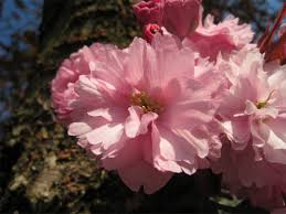 cherry cultivars vancouver cherry blossom festival vancouver