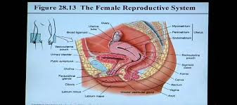 Anatomy Of Reproductive System Female Anatomy And Physiology Help Chapter 28 Reproductive System Youtube