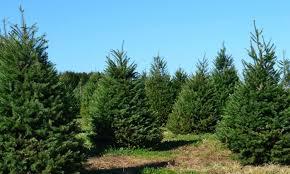 festivities and firs 8 long island christmas tree farms long