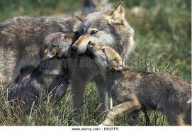 wolf cub stock photos wolf cub stock images alamy