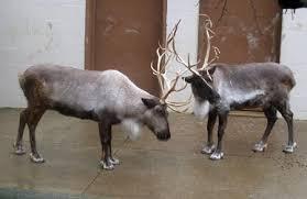 reindeer aka caribou cleveland zoo santa u0027s reindeer