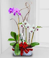 festive blooming orchid plants in boston ma central square florist