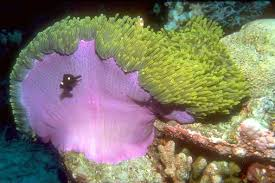illustrated glossary of sea anemone anatomy