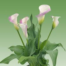 pink calla calla pink melody easy to grow bulbs