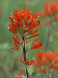 indian paintbrush flower indian paintbrush grow
