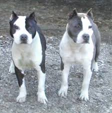 american pit bull terrier vs american staffordshire terrier american staffordshire terrier dog breed pictures 2