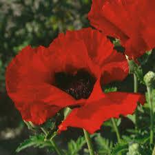 poppy seeds thompson u0026 morgan
