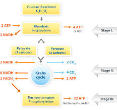 Cell Cycle Concept Map Cellular Respiration Diagram Cellular Respiration Review