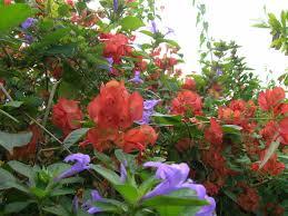 native chinese plants mandarin hat plant holmskioldia sanguinea richard lyons