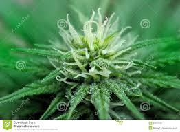 cannabis flower close up stock photo image 22012070