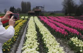 skagit valley tulip festival bloom map skagit valley tulips bloom early in 2015 the seattle times