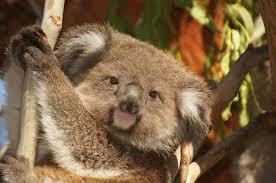education resources australian koala foundation