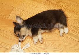 pembroke welsh corgi puppy stock photos u0026 pembroke welsh corgi