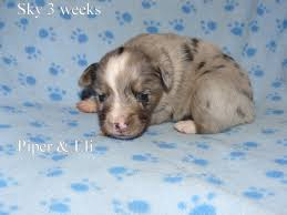 australian shepherd 3 weeks puppy pictures kicks and giggles mini aussies
