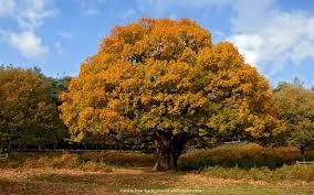 oak tree in autumn tree backgrounds 1440x900 pixels