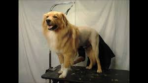 Dog Grooming Styles Haircuts Dog Grooming Houston Lion Cut Movie Hd Retake Youtube