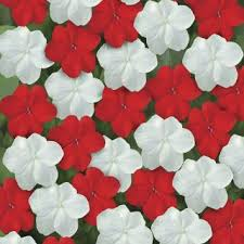 impatiens flowers impatiens flower seeds veseys