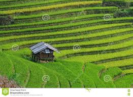 A Small House A Small House On Rice Field In Mu Cang Chai Vietnam Stock Photo