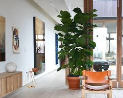 Fiddle Leaf Fig Tree Care by How To Care For Your Fiddle Leaf Fig 9homes