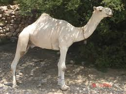 body condition score bcs in camel a tool for assessment of