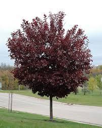 omaha nebraska cherry trees arbor trees