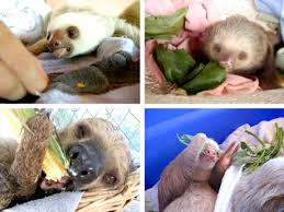 baby sloths serious eats