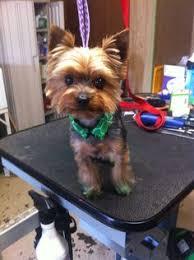 types of yorkie haircuts types of yorkie haircuts google search dogs pinterest